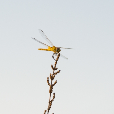 La libellule est le symbole de Boissonnet entreprise paysagiste dans les Vosges
